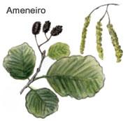 O ameneiro é unha das árbores da beira dos ríos que máis altura pode alcanzar, achegándose en ocasións aos 25 metros.