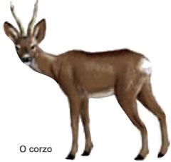 Con aproximadamente 70 cm de altura, gústalle andar a partir da noitiña ou no amencer polos bosques, consumindo follas de arbustos, herba, pequenos froitos…