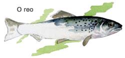 Especie moi próxima á troita, ten un ciclo de vida moi semellante ao salmón, e comparte espazo no Xuvia con poboacións máis pequenas.