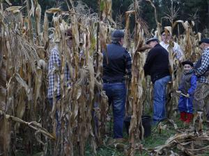 Recollida de maínzo para a Esfolla 2017